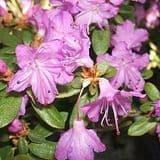 Rhododendron 'Sapphire' - Find Azleas,Camellias,Hydrangea and Rhododendrons at Loder Plants